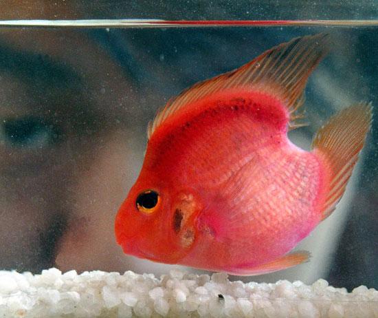 [Jeu] Association d'images - Page 2 One-Heart-Blood-Parrot-Fish