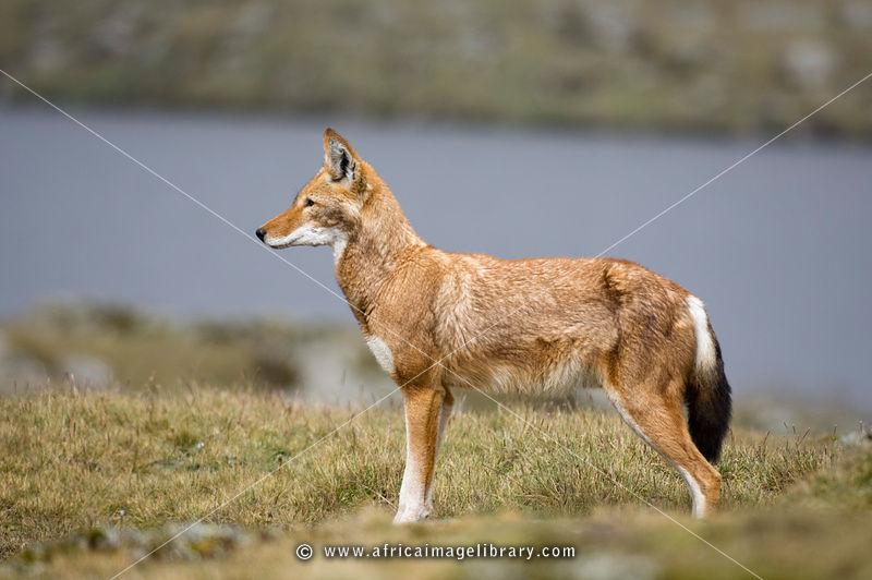 Carnívoros Família Canidae. Canis simensis- Lobo da Etiópia ET-BM-Ethiopian%20wolf-0014_xlarge