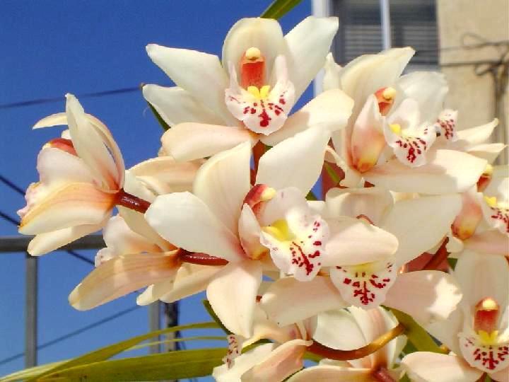 BUSQUEMOS HERMOSAS FLORES - Página 6 Orquideas