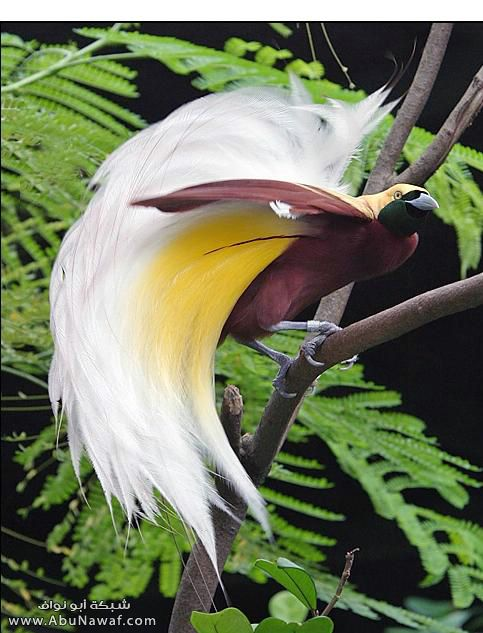 صـور اجمل انواع الطـيور ( عالم الطيور)  M054