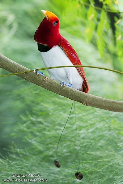 صـور اجمل انواع الطـيور ( عالم الطيور)  M057