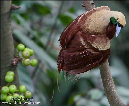 صـور اجمل انواع الطـيور ( عالم الطيور)  M058