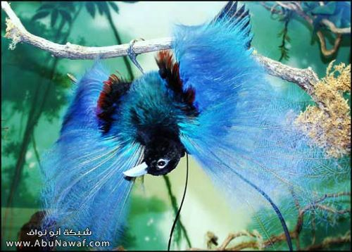 صـور اجمل انواع الطـيور ( عالم الطيور)  M060
