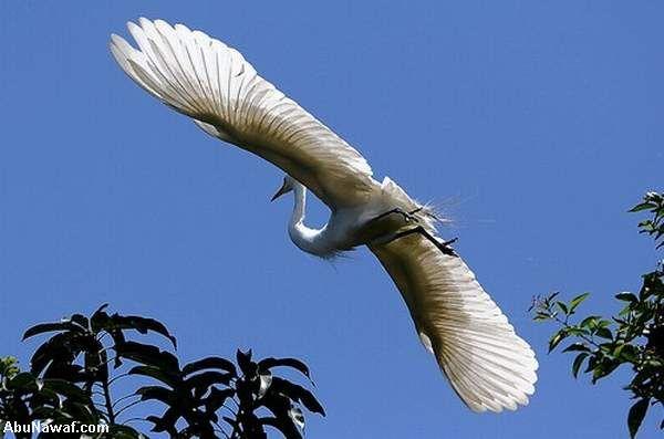 طائر الغرنوق شقيق الماء 07