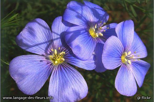 une fleur - blucat- 8 août trouvée par martine 5o5qq44h