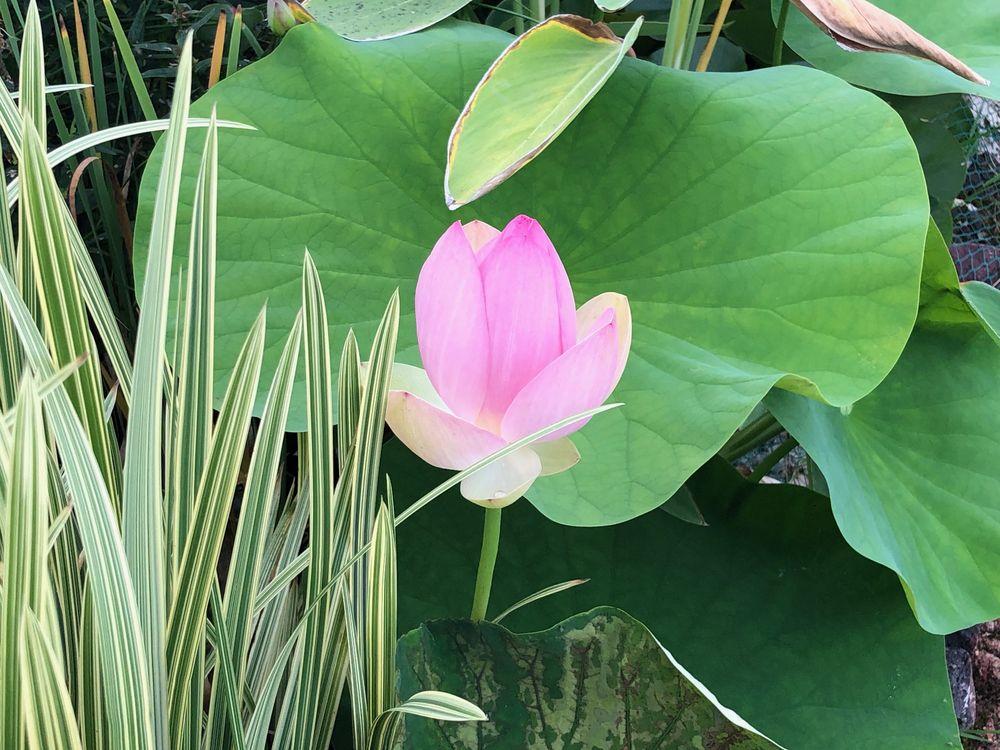 Quelques photos des floraisons du mois d'Aout Lotus2