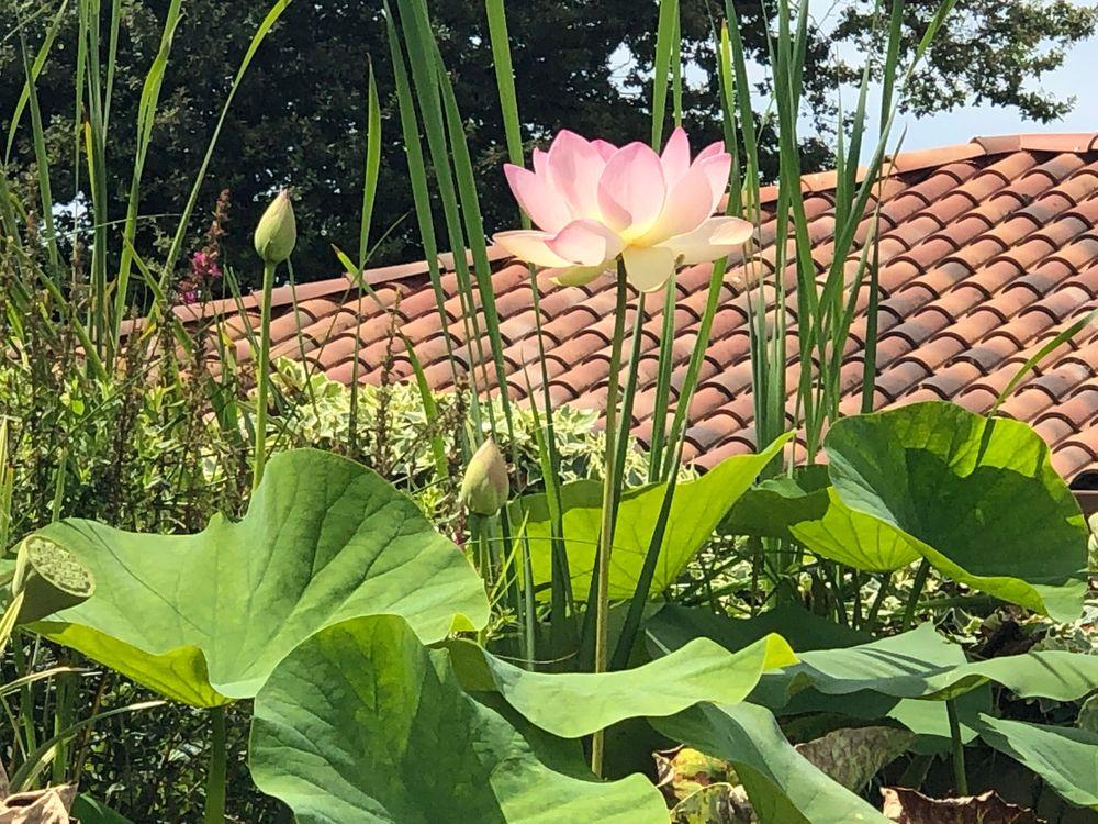 Lotus  Lotus3
