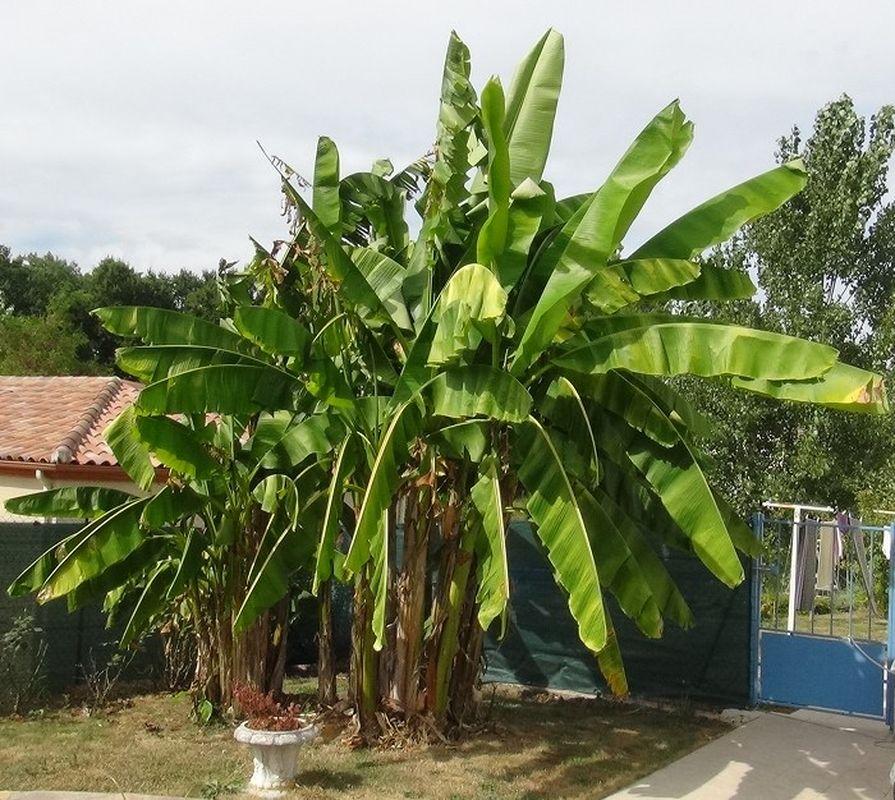 projet de plantation sur une grande butte de terre  Bananier