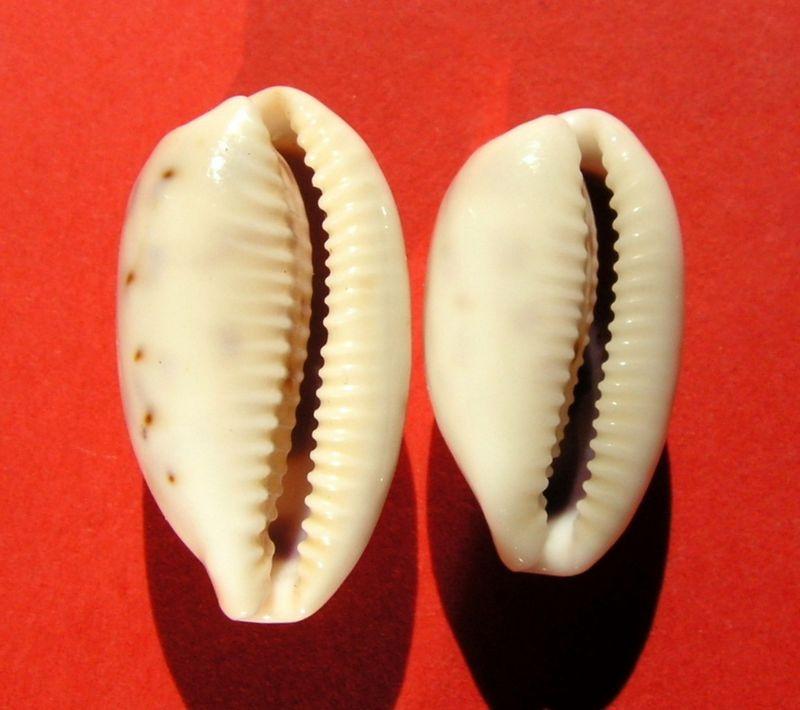 Blasicrura pallidula pallidula - (Gaskoin, 1849) P_pallphil11