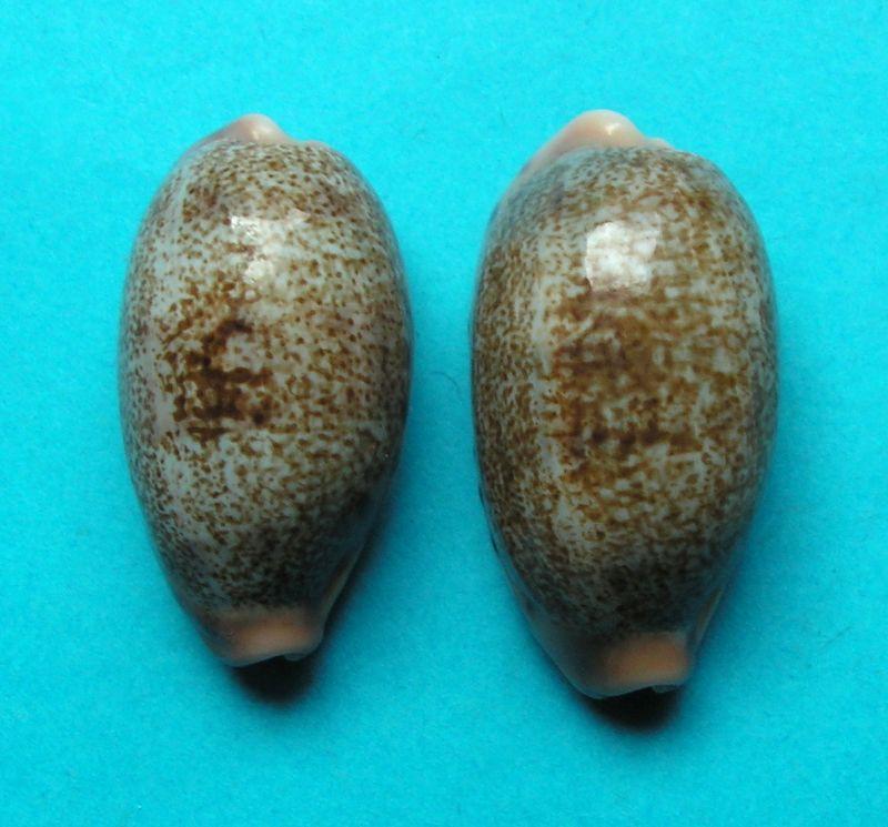 Erronea caurica blaesa - Iredale, 1939 C_caurblae21