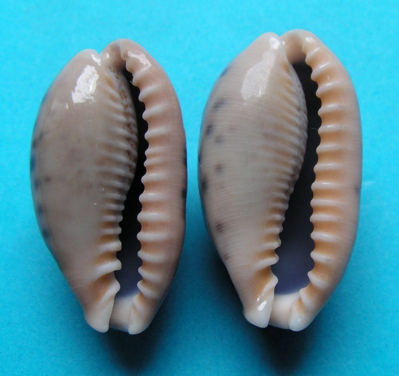 Erronea caurica blaesa - Iredale, 1939 C_caurblae22