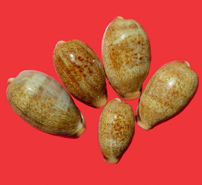 Erronea caurica elongata - (Perry, 1811) P_cauelotul10