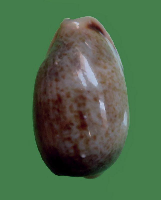 Erronea caurica quinquefasciata - (Röding, 1798)  P_caurmini11