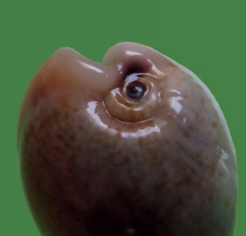 Erronea caurica quinquefasciata - (Röding, 1798)  P_caurmini_0