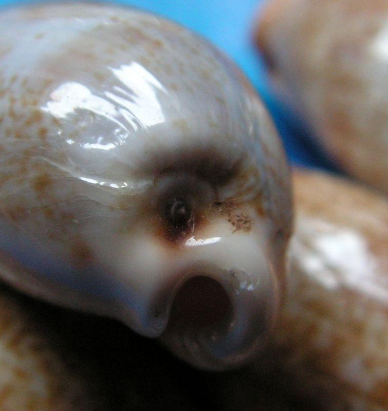 Erronea caurica quinquefasciata - (Röding, 1798)  P_caurm18