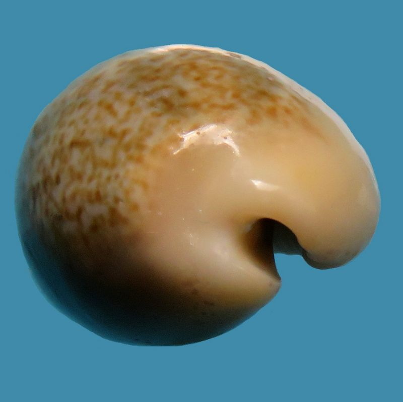 Erronea errones bimaculata - (Gray, 1824) P_errones_0