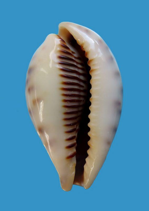 Erronea pyriformis - (Gray, 1824) P_pyrimani12