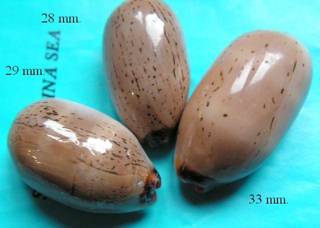 Luria isabella controversa - (Gray, 1824) voir Luria isabella (Linnaeus, 1758) P_isacon18