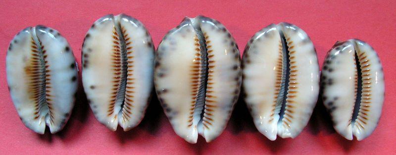 Mauritia arabica - (Linnaeus, 1758)  P_arabwal61