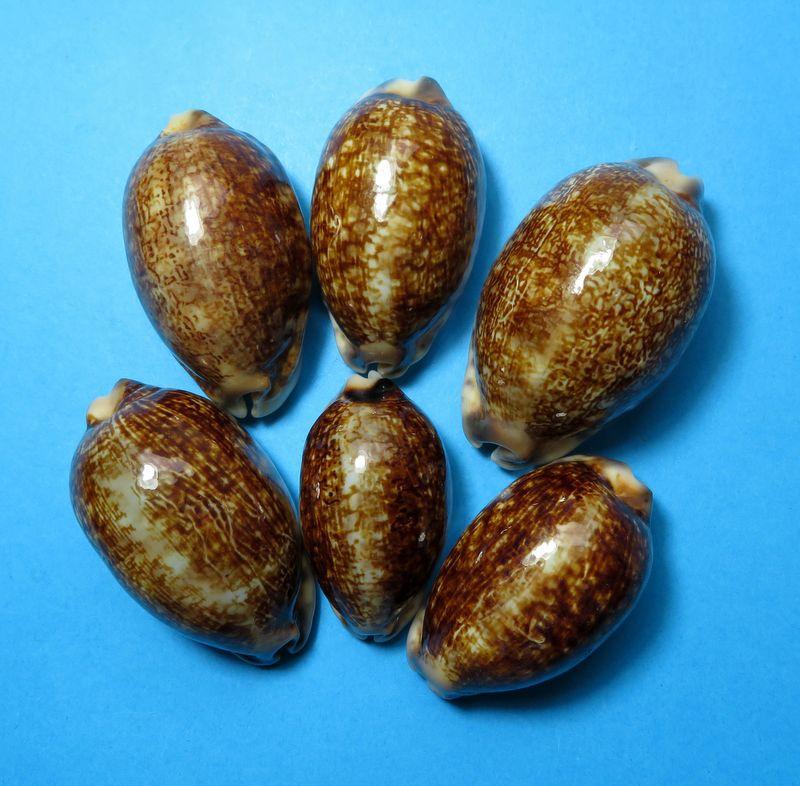 Mauritia eglantina metis - (Duclos, 1833) P_eglameti10
