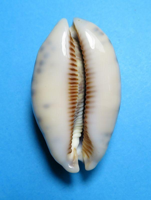 Mauritia eglantina metis - (Duclos, 1833) P_eglameti18