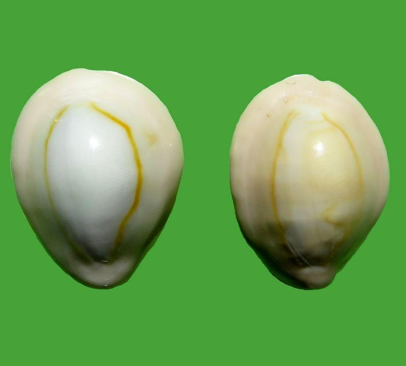 Monetaria annulus f. dilatissimus voir Monetaria annulus f. dilatissima (Lorenz, 2017) P_annuaden12