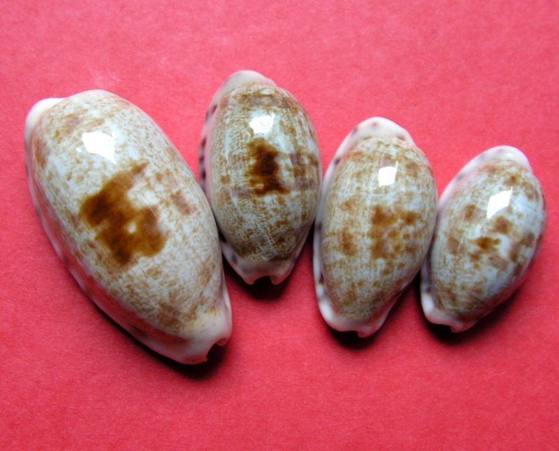 Talostolida pellucens pellucens - (Melvill, 1888) & Talostolida teres teres (Gmelin, 1791) P_talpellzan10