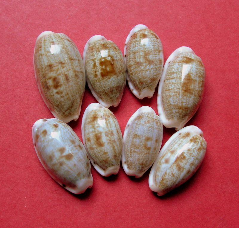 Talostolida teres - (Gmelin, 1791) des Tuamotu ? - f. ou var. ? P_teretuam10