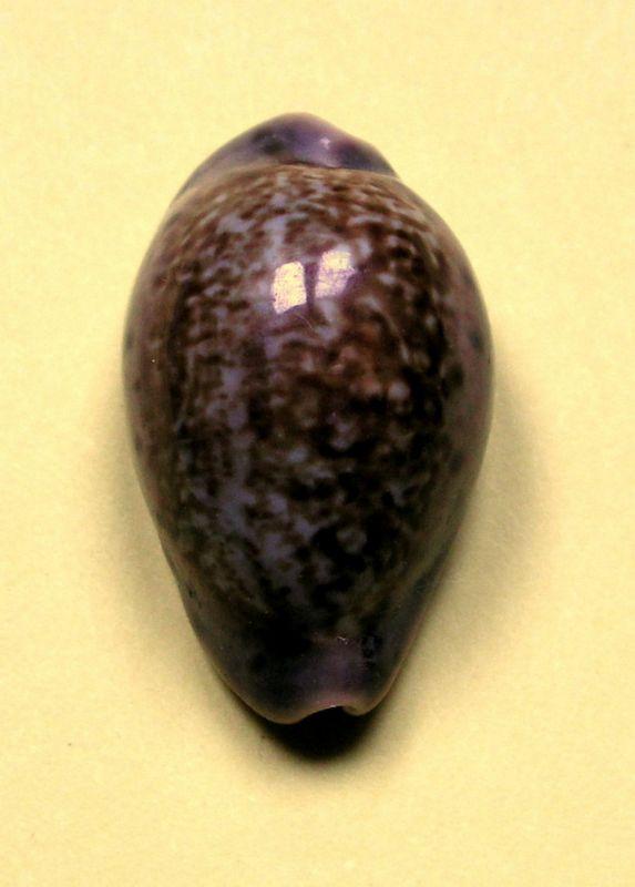 Zonaria zonaria - (Gmelin, 1791) - Page 2 P_zonasene21