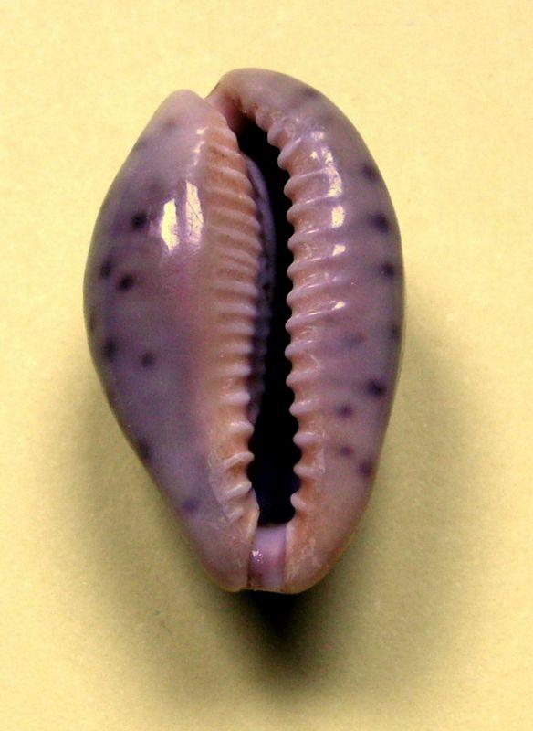Zonaria zonaria - (Gmelin, 1791) - Page 2 P_zonasene22