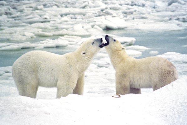Medvjedi Prv_polarni_medvjedi
