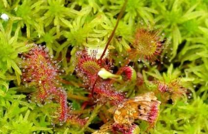 Najodvratnije i najsmrtonosnije cvijeće  Drosera_rotundifolia_wiki