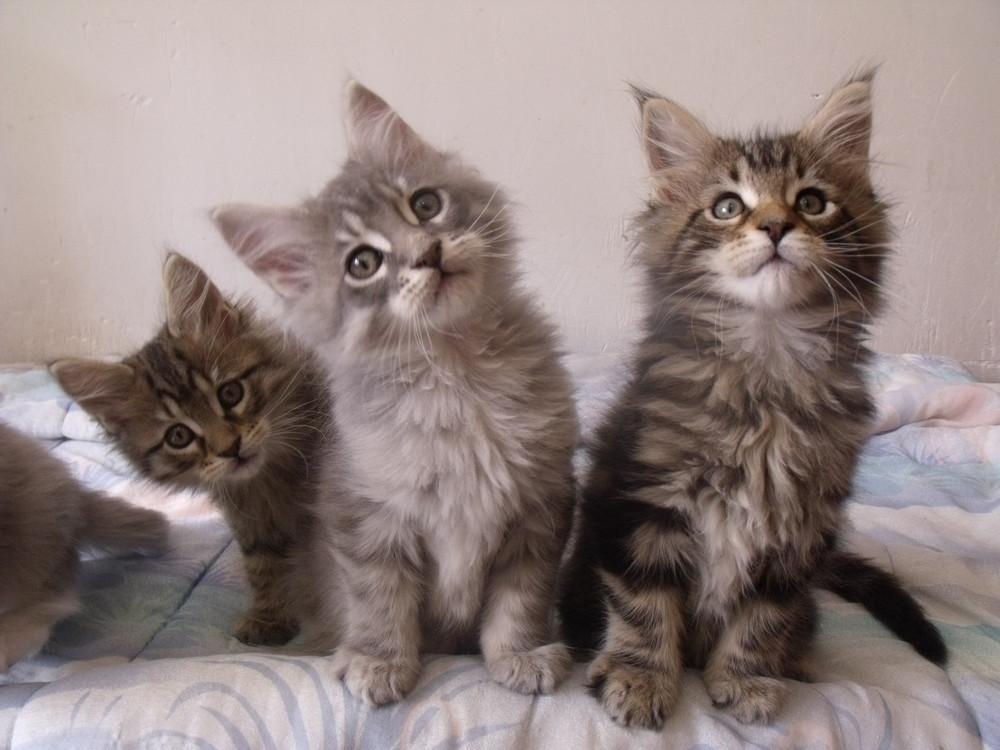 Le comportement des chats - Page 3 2z90h-chatons_destiny_083