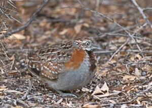 un oiseau - ajonc- 15 octobre trouvé par Martine 9rrxu-caille_pays