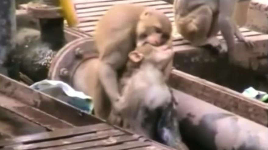 ANIMALES - Página 3 Mono-salva-vida-mono-via-tren