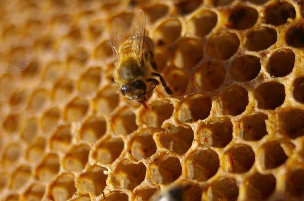 Les abeilles, témoins du bon état de notre environnement, disparaissent massivement Alveoles-abeille-2