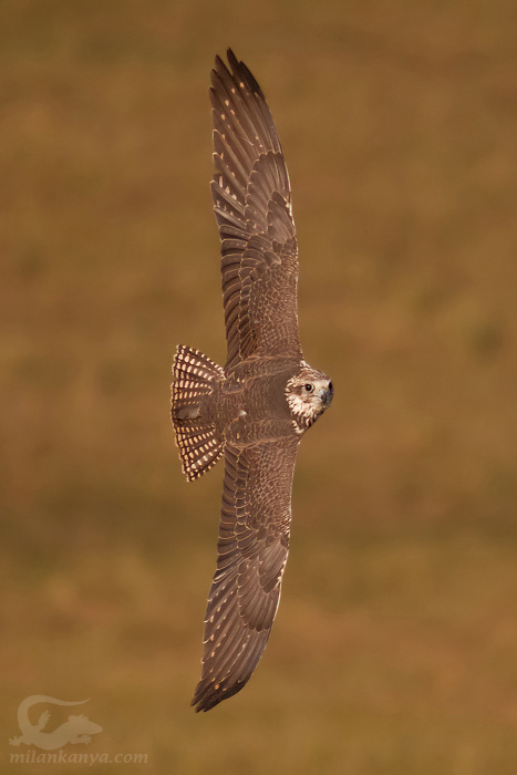 Falconiformes. sub Falconidae - sub fam Falconinae - gênero Falco Sokol_raroh_falco_cherrug_20091214_2041397127