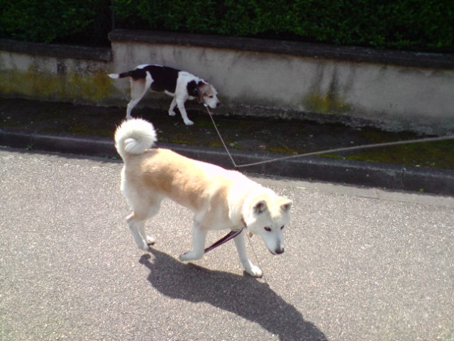 Urgent pour la belle akita Pépita dans le 63 DECEDEE - Page 12 P110409_12.02