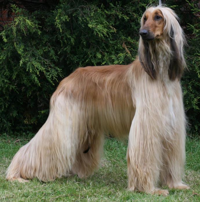 Mascotas - Página 2 Galgo-afgano_raza_de_perro