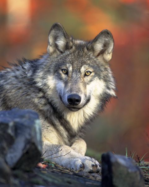 Les loups Wwrraru6