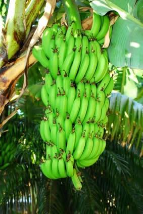 Banan nan se OPERASYON pou NEG yo BLANCHI LAJAN LETA Regime-banane