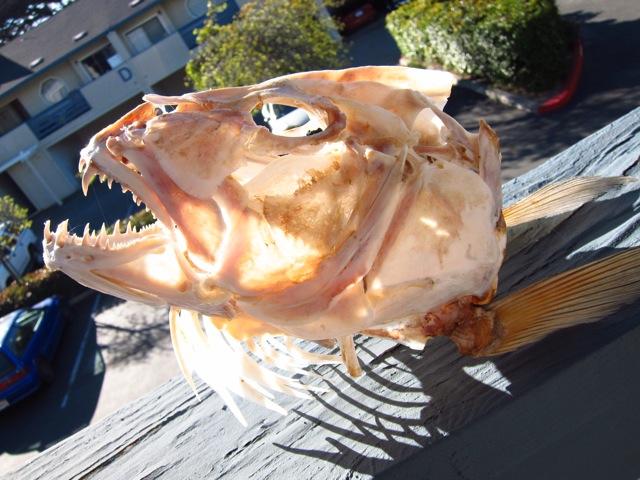 La Pesca del Pargo (Lutjanus Sp.) por José Manuel López Pinto  / Actualizado al 17/10/11 Dog-snapper1