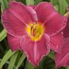 "Немного растений из ""Сада Дракона"" Charles_johnston_l"
