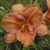 "Немного растений из ""Сада Дракона"" Forsyth_wrinkles_and_crinkles_l"