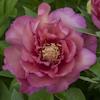 "Немного растений из ""Сада Дракона"" Julia_rose_l"
