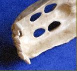Le crâne d'une étrange créature découvert en Sibérie Img4