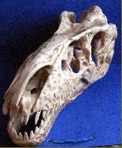 Le crâne d'une étrange créature découvert en Sibérie Img7