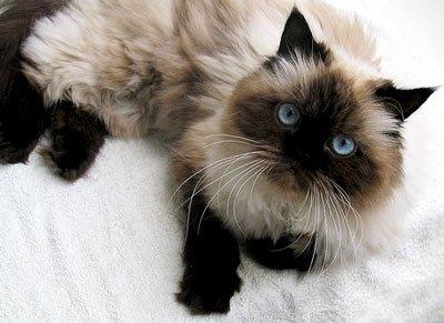 ВИДЕО котенок из 44-ой раздевалки (котенок от DMR) Himalajskaja-koshka1