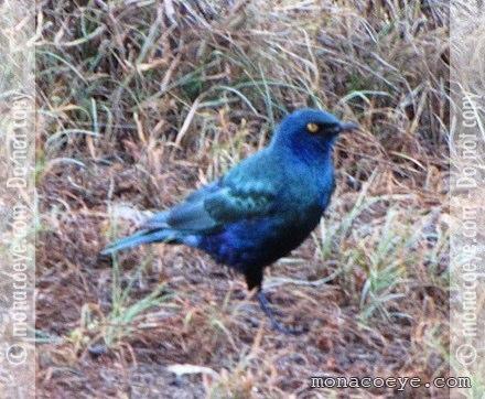 oiseau n° 2 - ajonc - 7 avril trouvé par Martine Lamprotornis_chloropterus_lesser_blue_eared_glossy_starling_01