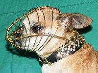 LE CHIHUAHUA - Page 2 Chihuahua-muzzle